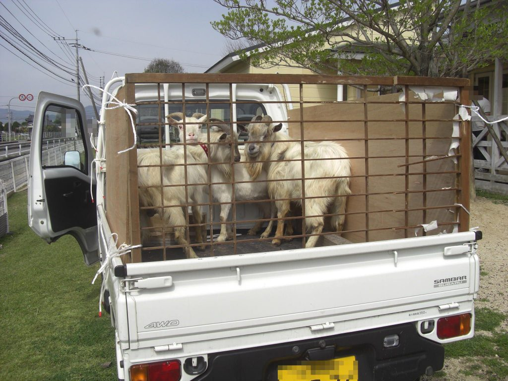 Kei truck used on Japanese sheep farm. Carry lambs and adult animals no problem. Good for sheep farming in the UK. Import minitruck direct from Japan
